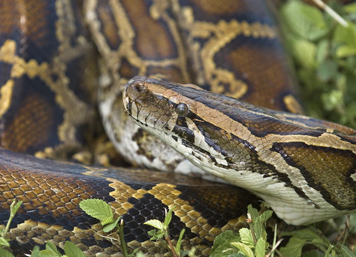 python coiled up in grass