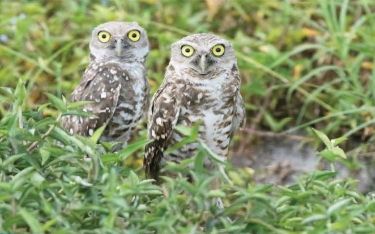 two owls sitting in vegetation