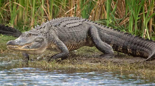photo of gator in the Everglades