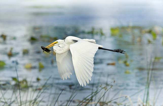 photo of egret flying