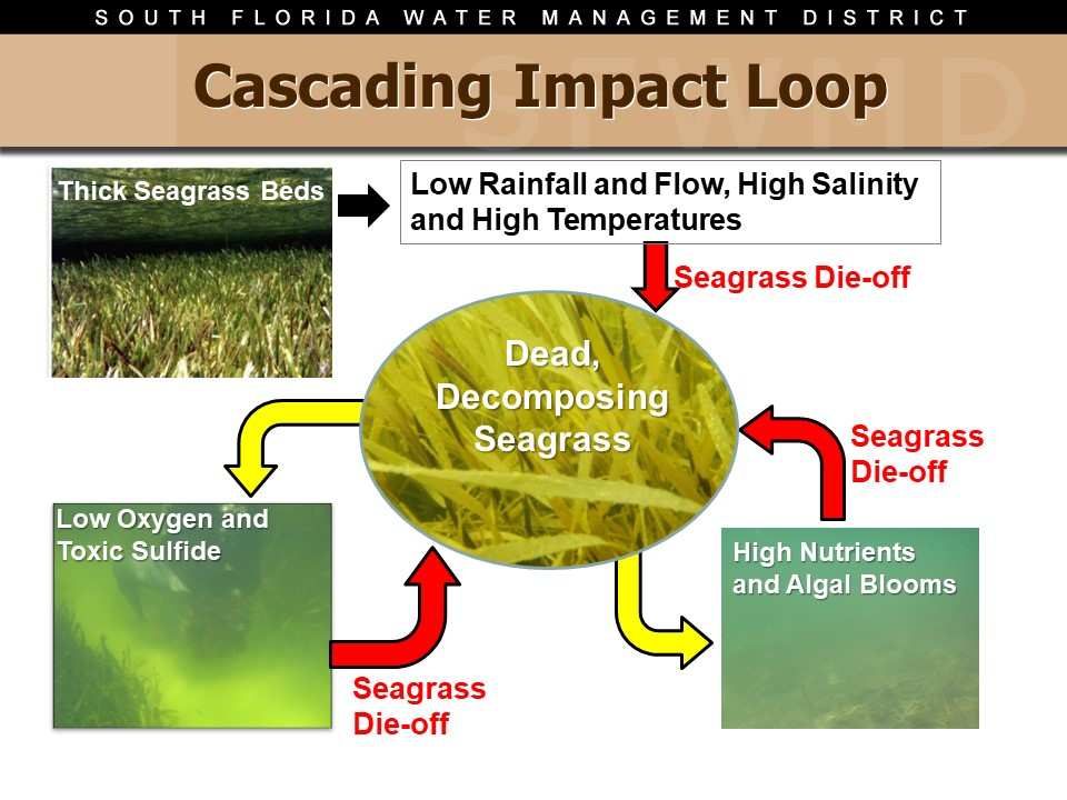 graphic of Cascading Impact Loop in Florida Bay