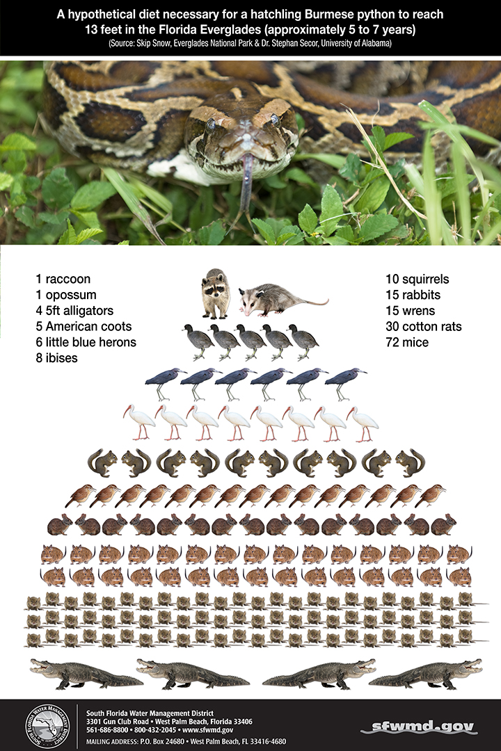 Infographic: The Burmese python has a stranglehold on the Everglades Ecosystem