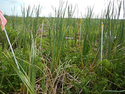 photo for Cattail Sustainability study