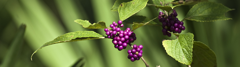 native plant beauty berry