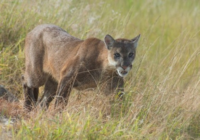 florida panther prowling
