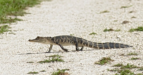 alligator walking across path