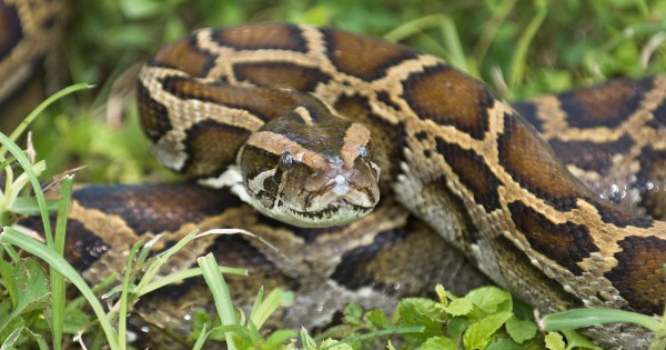 python coiled in grass