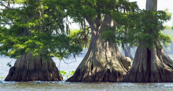 cypress trees in water