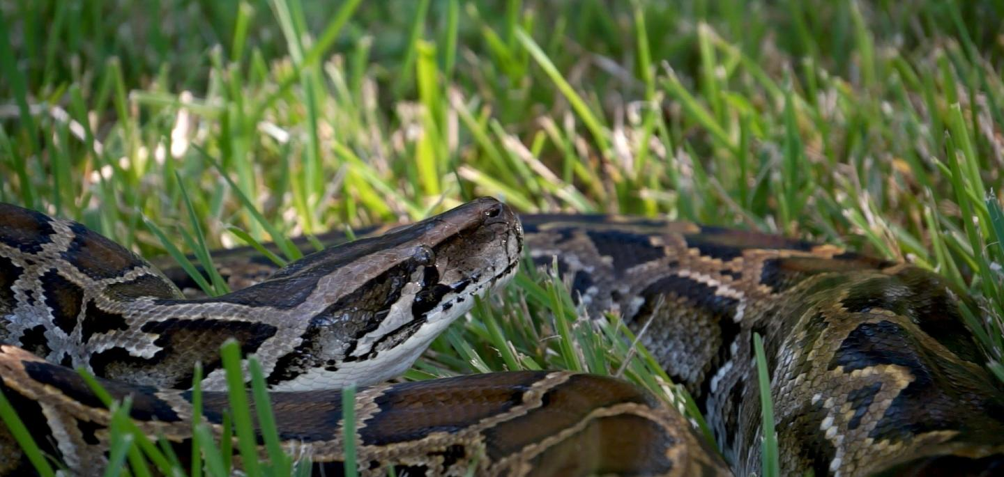 python laying in grass
