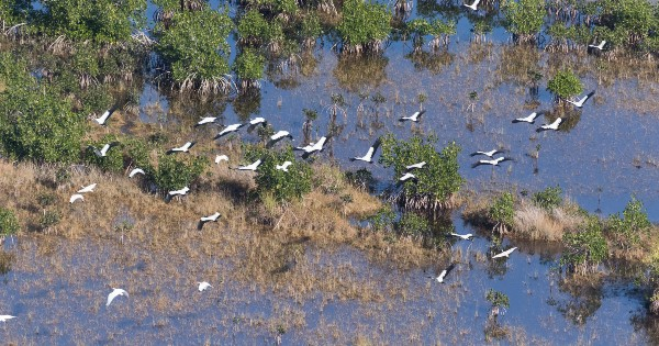 wood storks flying through mangroves